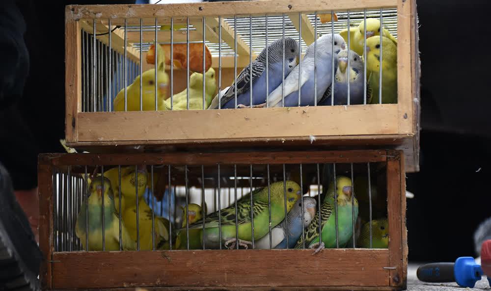 Спречен обид за криумчарење папагали